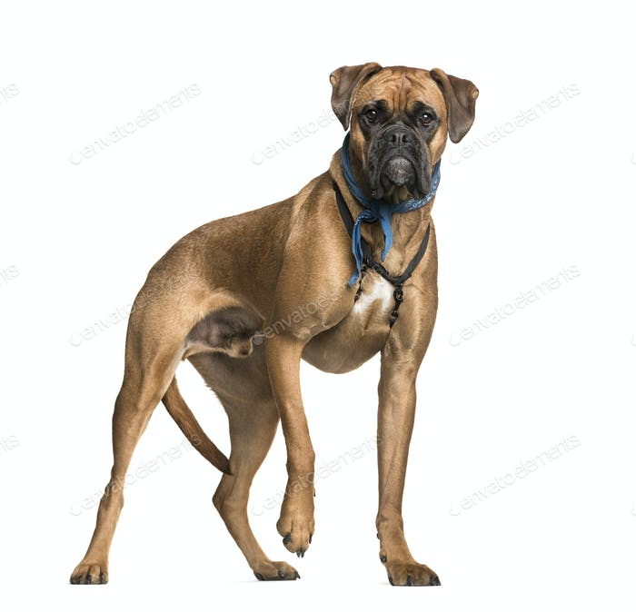 Boxer, 2 years old, in front of white background