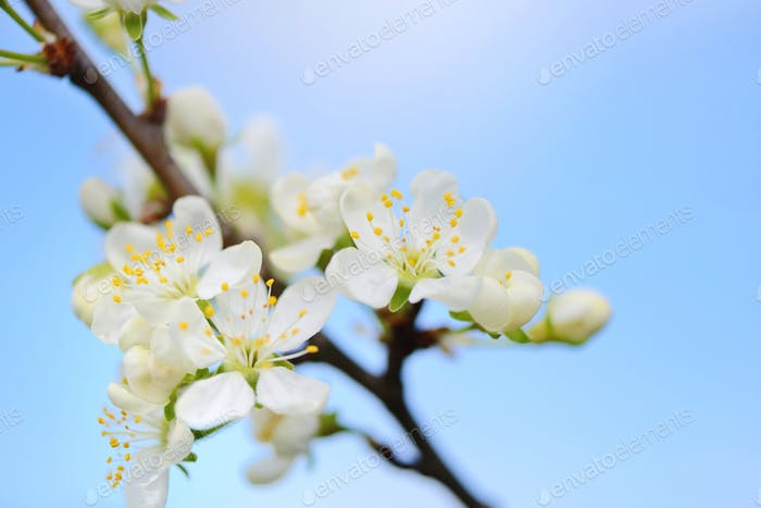 Flowers bloom on a branch of plum against blue sky