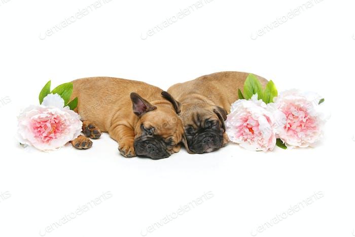 two beautiful french bulldog puppies
