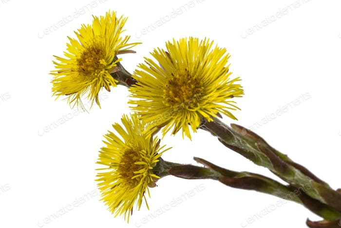 Flowers of foalfoot (Tussilago farfara),  isolated on white back