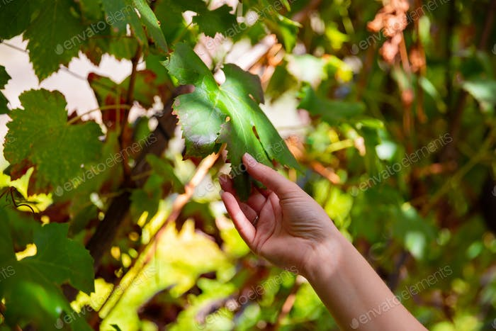 Woman touching leaf from wine grape plant at vineyard