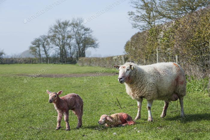 Ewe and two newborn lambs on a pasture.