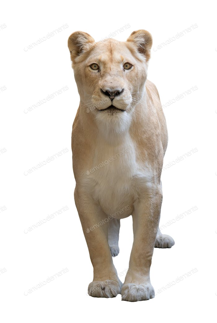 female lion (panthera leo) isolated on white background