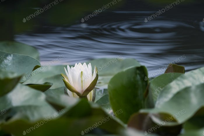 white water lily closeup on pond