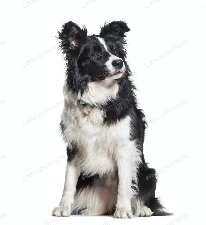 Border Collie dog looking away against white background