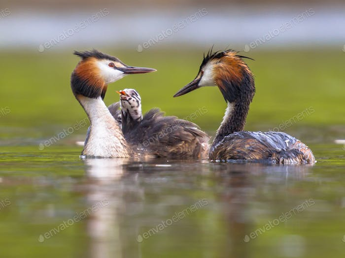Pair Great crested grebe swimming with chicks