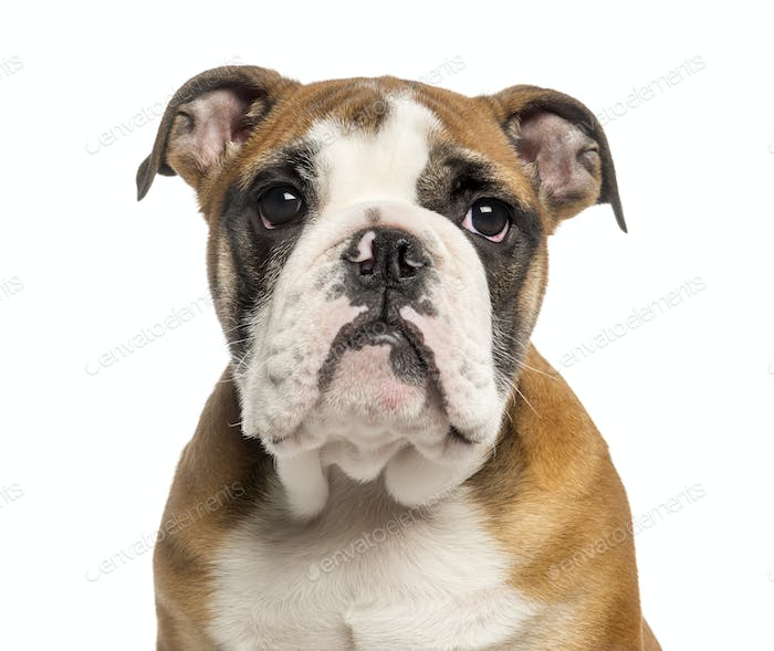 Close-up of an English Bulldog puppy, 3,5 months old, isolated on white