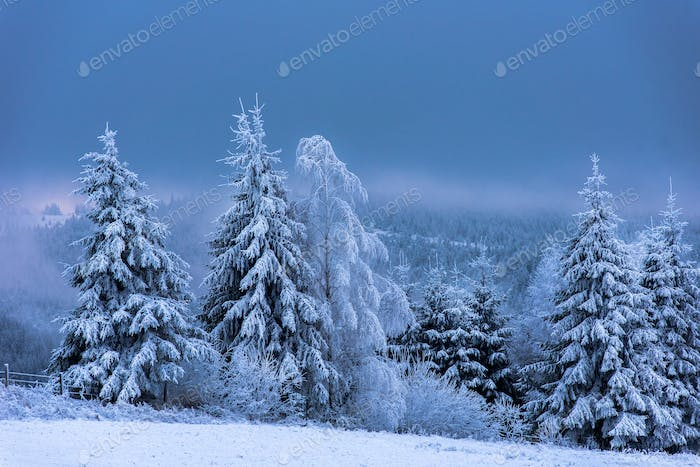 Fairy winter landscape. Snow covered fir trees