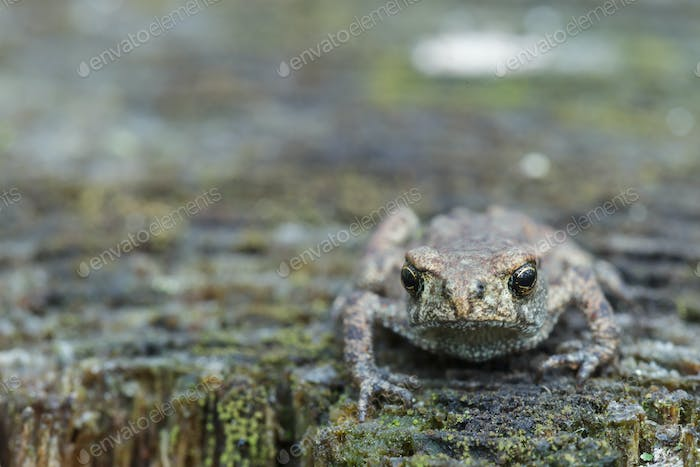Grey frog or toad sitting on stump looking ahead
