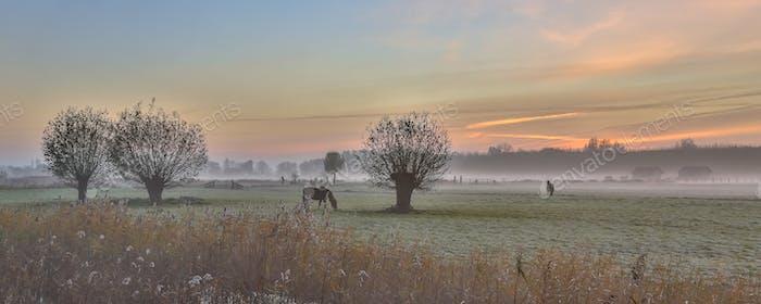 Pollard willows and horses sunrise