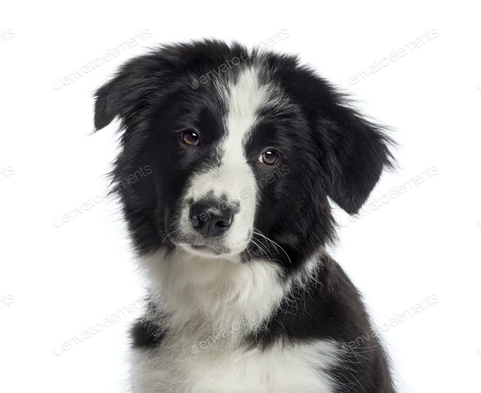 Headshot of a Border Collie puppy (4 months old)