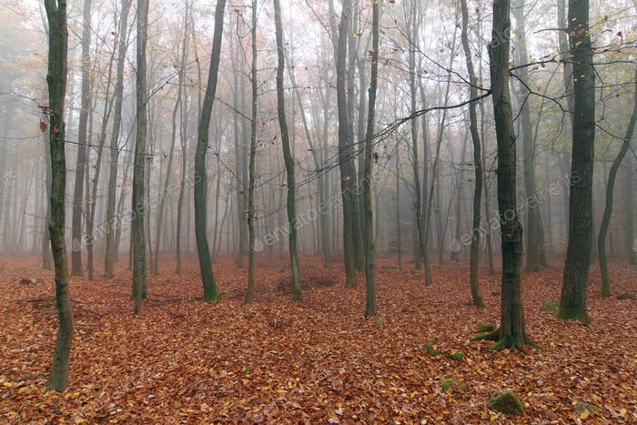 Foggy autumn beech forest