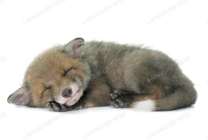 sleeping red fox cub