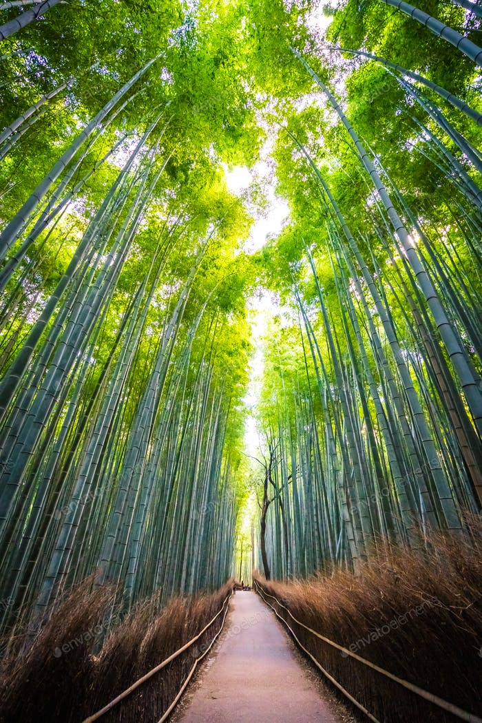 Beautiful landscape of bamboo grove in the forest at Arashiyama