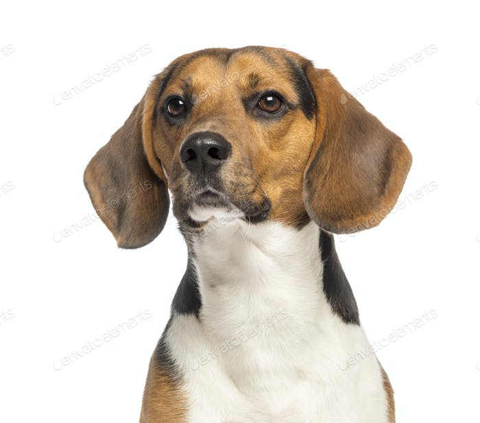 Nahaufnahme eines Beagle,11 Monate alt, isoliert auf weiß
