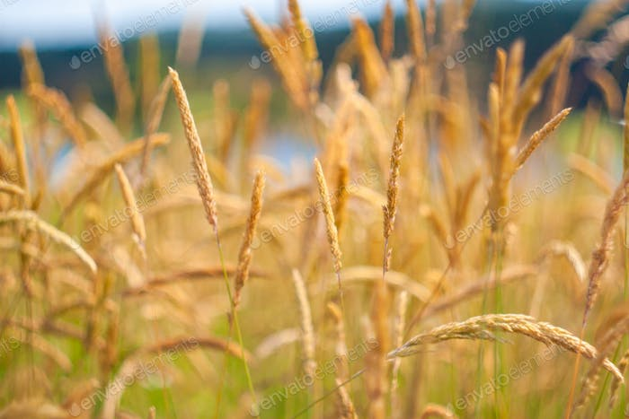 Beautiful summer background with yellow grass.