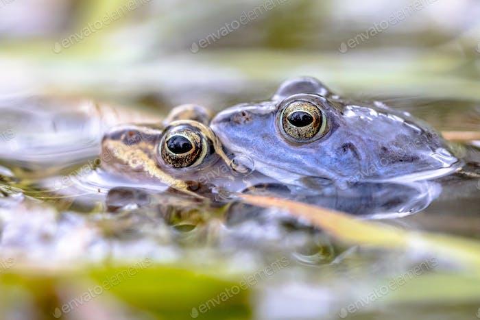Moor Frosch Paar im Wasser