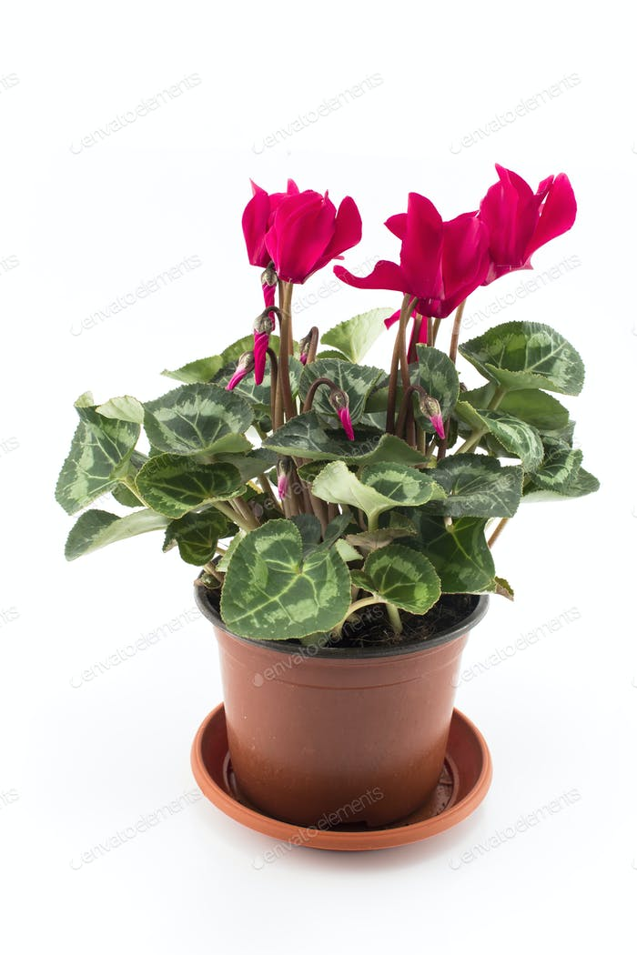 Red Cyclamen Potted on a White Background