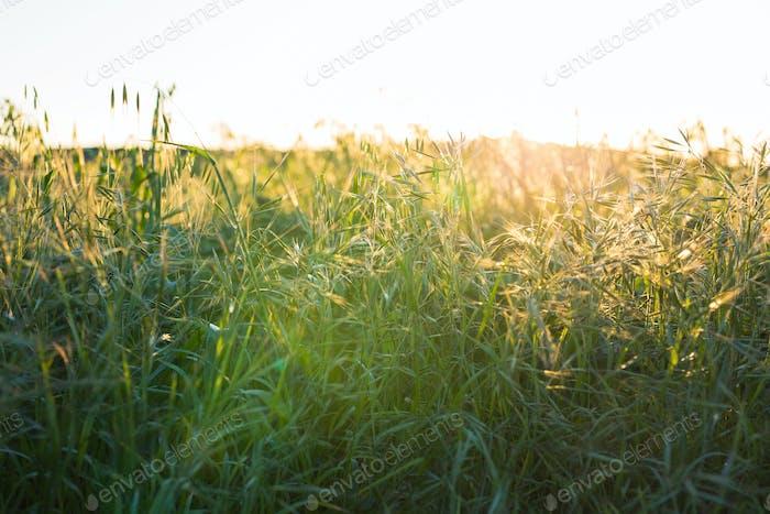Heller Sonnenuntergang über grünem Feld. Grüne Wiese.