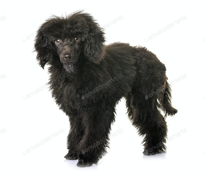 puppy brown poodle