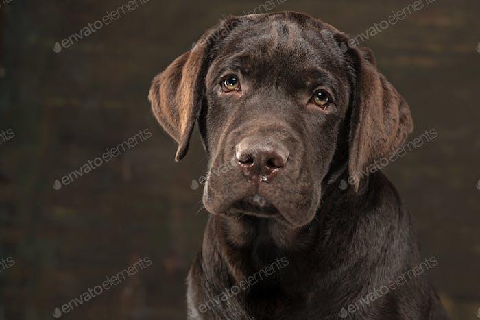 The portrait of a black Labrador dog taken against a dark backdrop.