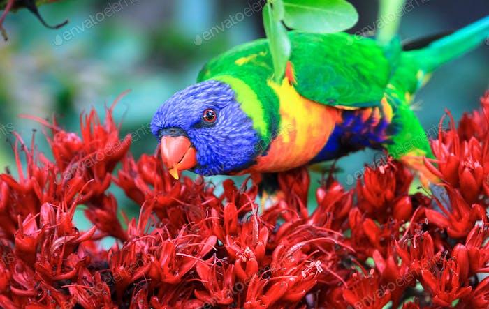 Rainbow Lorikeet on Red Flowers