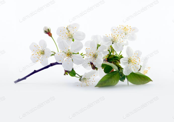 Cherry twig in bloom on gray. Nature background.