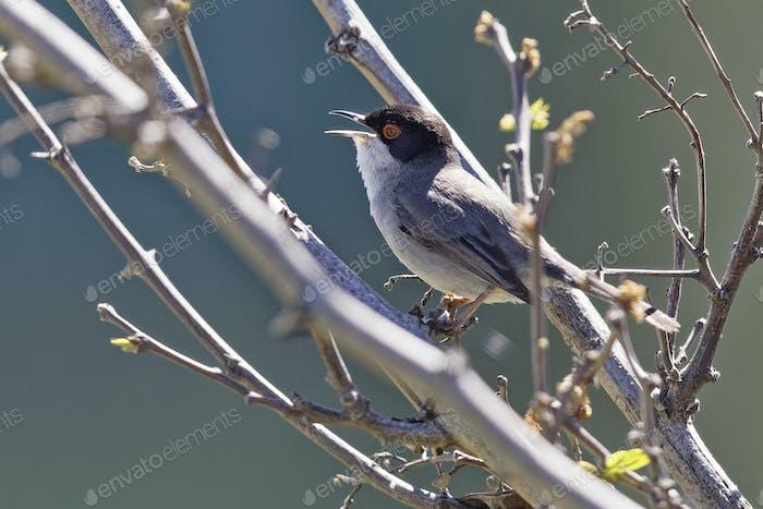 Samtkopf-Grasmücke, Curruca melanocephala, Sylvia melanocephala,Sardinian Warbler