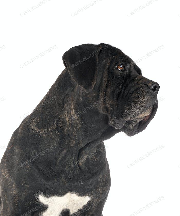 adult cane corso