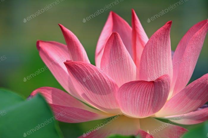Pink lotus flower blossom