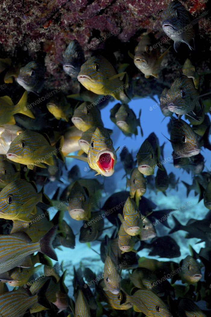 Fisch auf Korallenriff. , Fisch auf Korallenriff.
