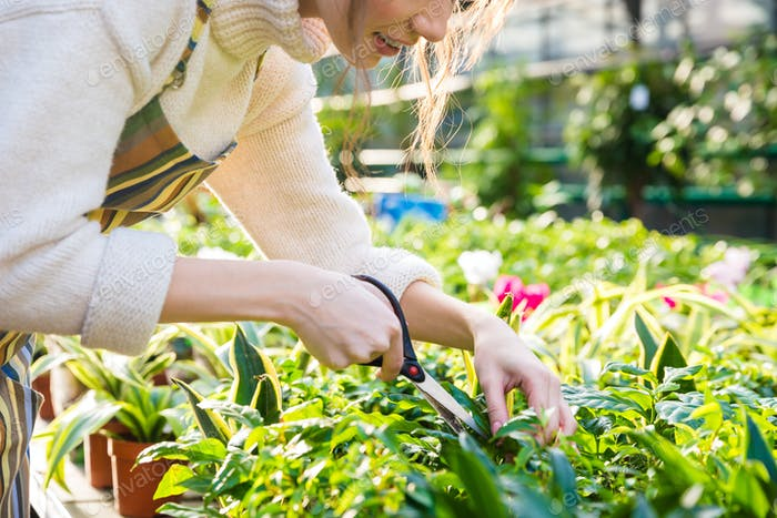 Woman gardener cutting plants with garden scissors in greenhouse