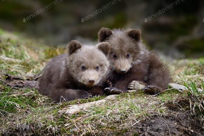 Junger Braunbär im Wald