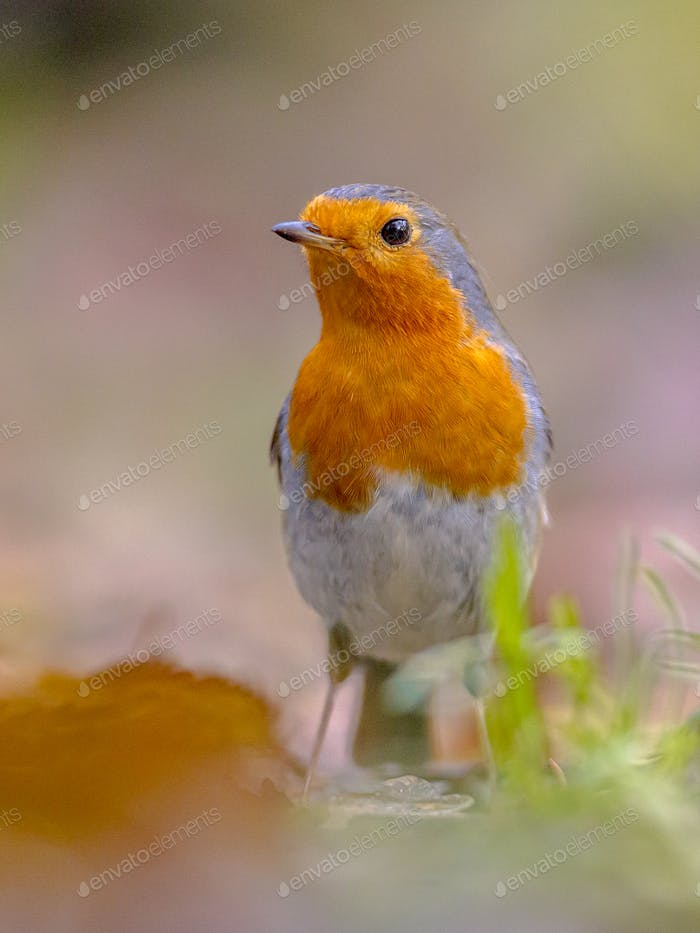 Red Robin in autumnal garden lawn