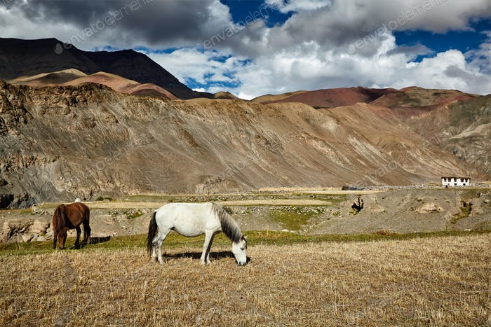 Horses grazing in Himalayas. Ladakh, India