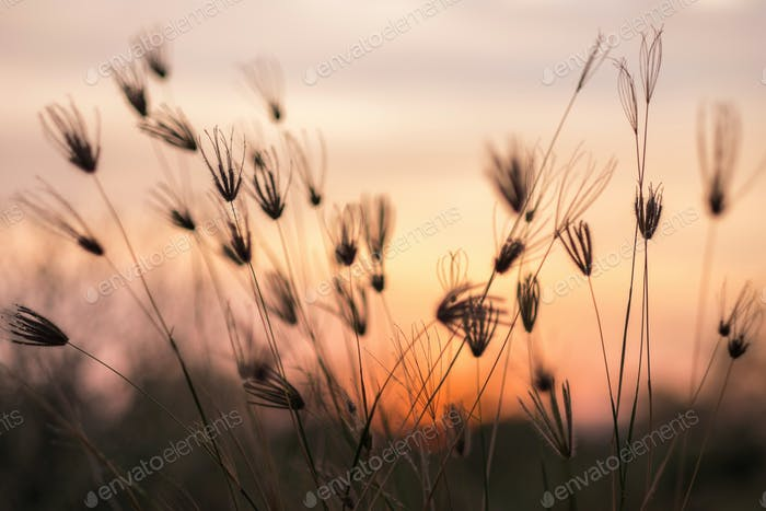 Grass swaying in windy sunset