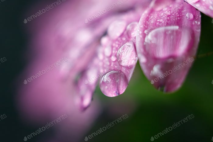 drops of water on a pink flower