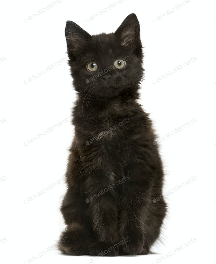 Black Mixed-breed Cat sitting, Cat, pet, studio photography, cut out
