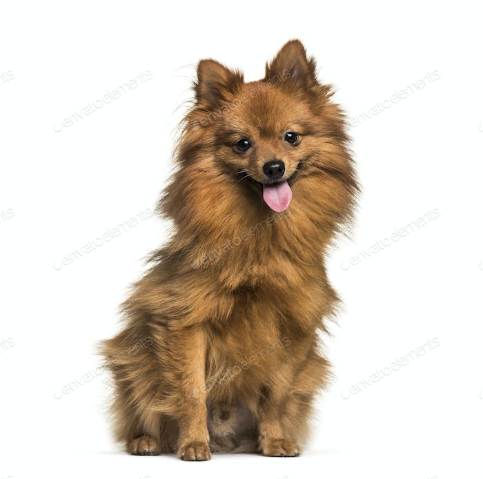 Pomeranian, 1 year old, sitting in front of white background
