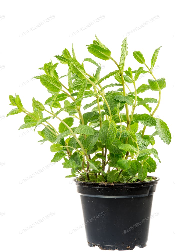 Fresh Mint plant in a flower pot