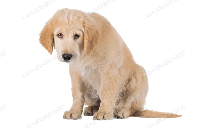 Miserable Golden Retriever puppy sitting front view isolated on white background