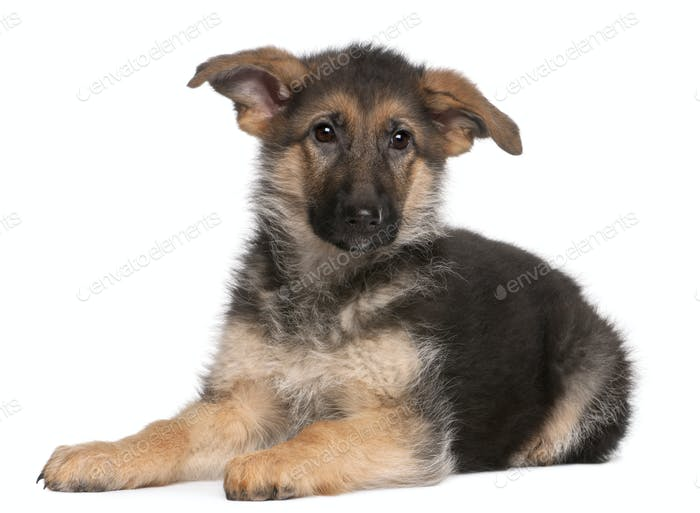 German Shepherd puppy, 4 months old, lying in front of white background