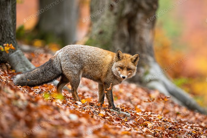 Cute adult red fox in winter coating facing camera in forest in autumn