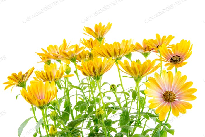 Isolated yellow Osteospermum flower blossoms