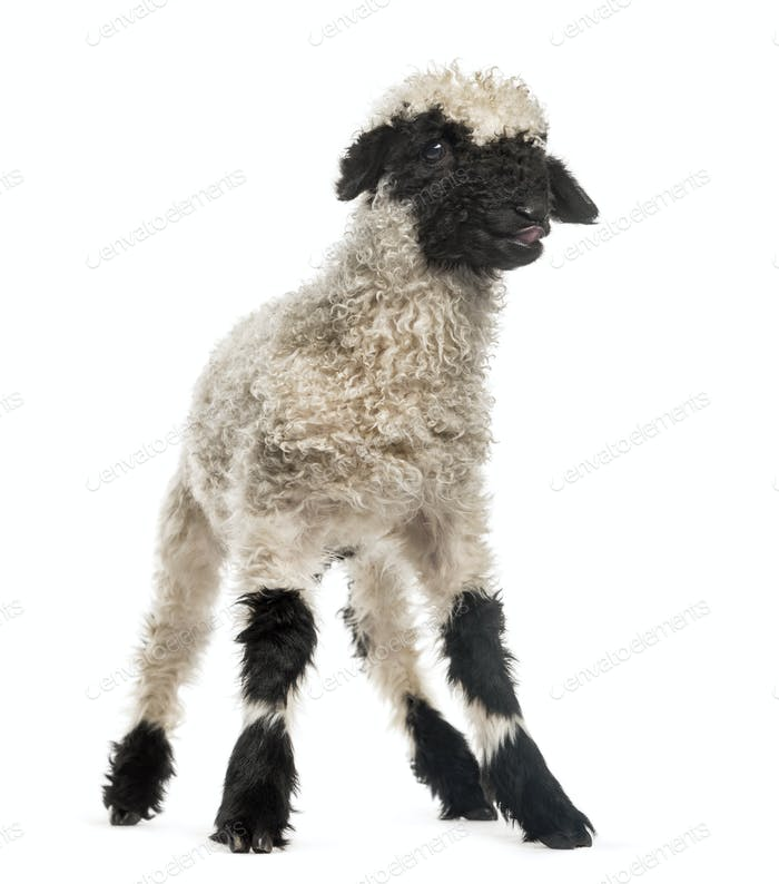 Portrait of lamb standing in front of white background