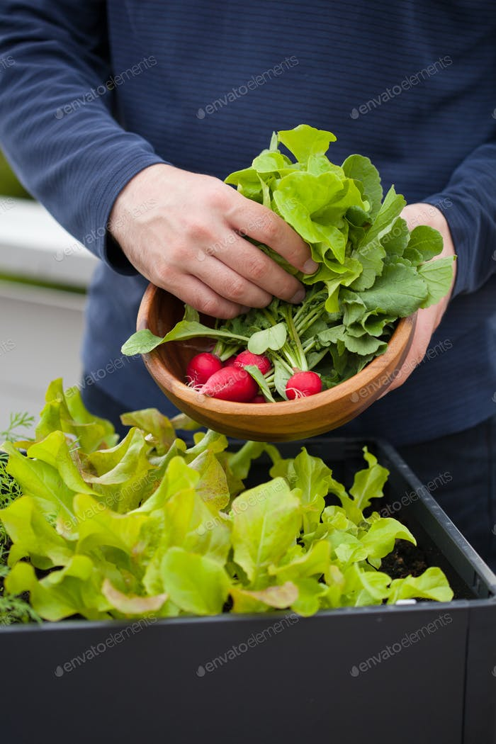 man gardener picking salad and radish from vegetable container g