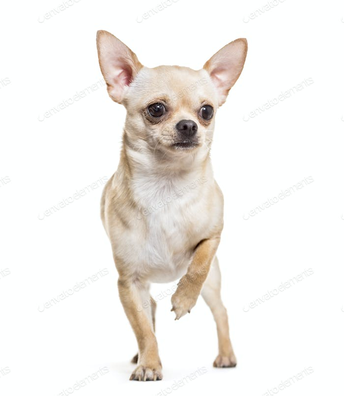 Chihuahua dog standing, cut out