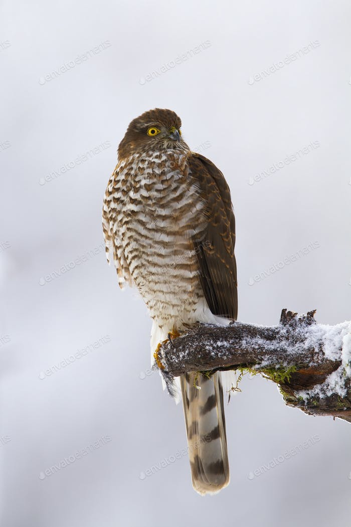 Majestic eurasian sparrowhawk sitting on branch in winter