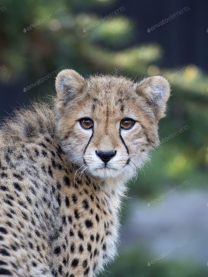 Young Cheetah, a portrait