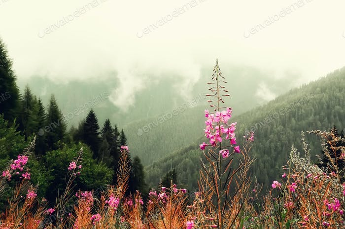 First spring flowers on Alps mountains background in cloudy day. Copy space. Spring, summer, travel